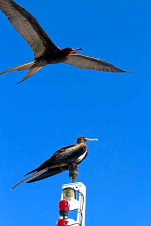 Frigate birds hitching a ride with a boat
