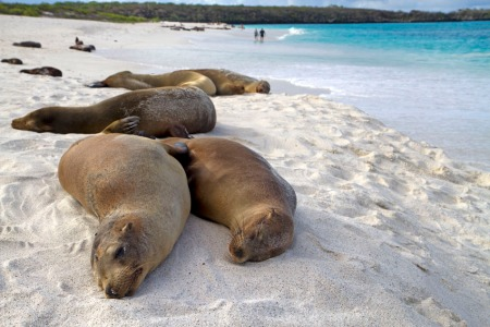 Galapagos sea lions at Gardner Bay, Isla Espanola